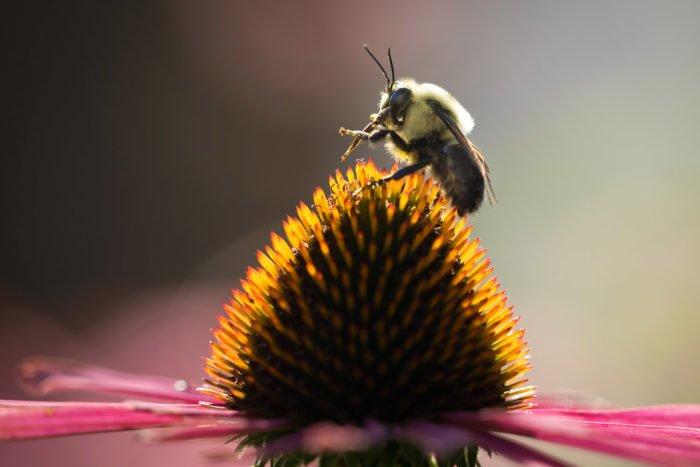 蜜蜂在花中心的特写镜头