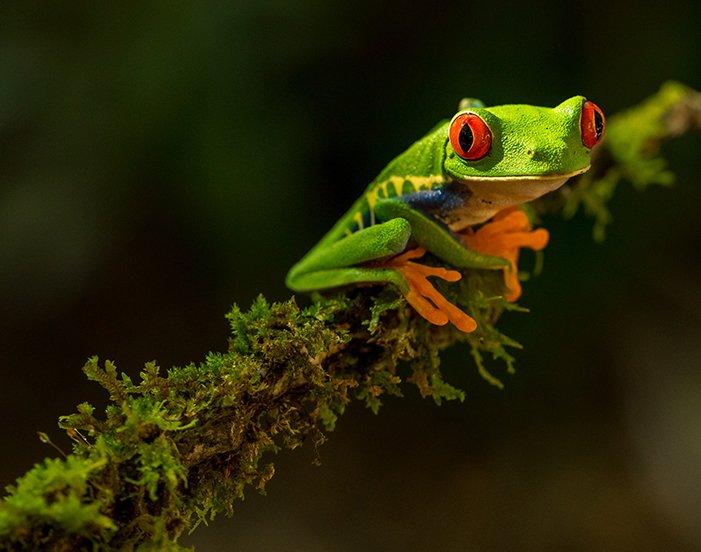 一只绿色青蛙的宏观图象在叶子的