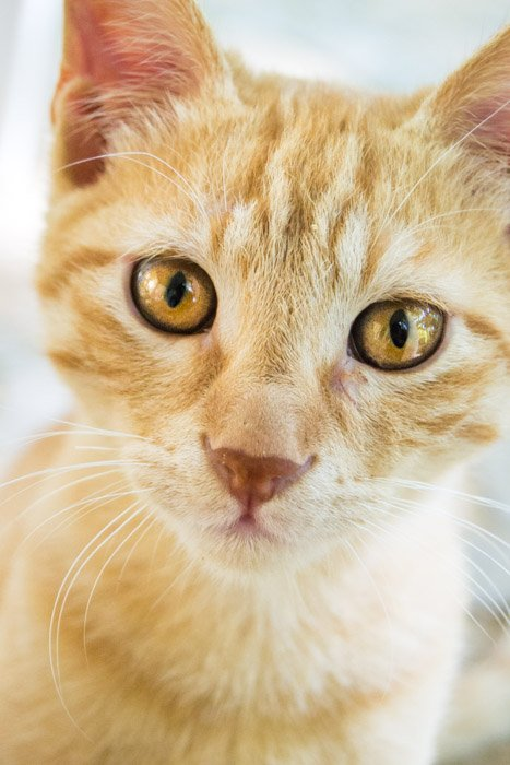 up close portrait of an orange cat with yellow eyes