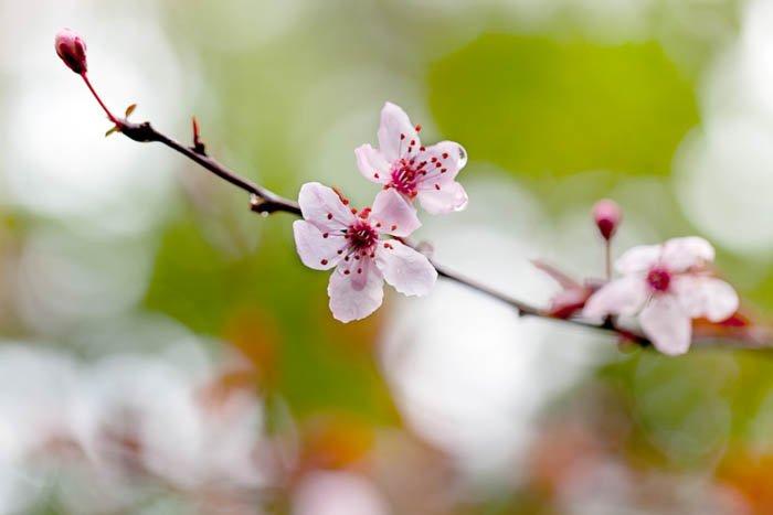 cherry blossoms macro photography