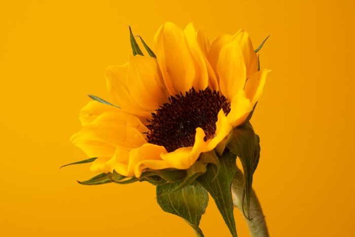 product photo of a sunflower on yellow background