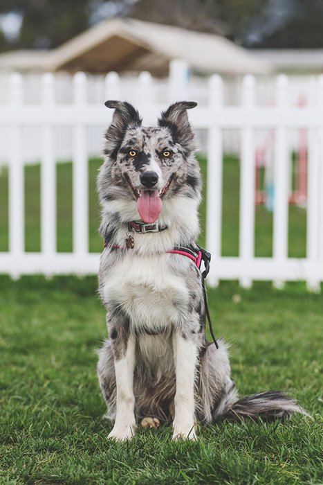 dog show pet photography showing a blue heeler sitting