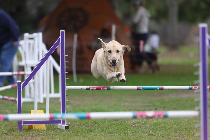 dog competition pet photography of a Labrador jumping an obstacle course