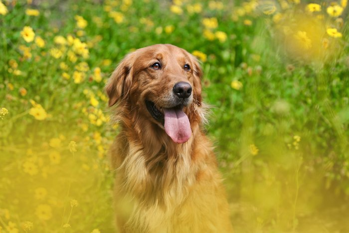 happy golden retriever pet dog photography