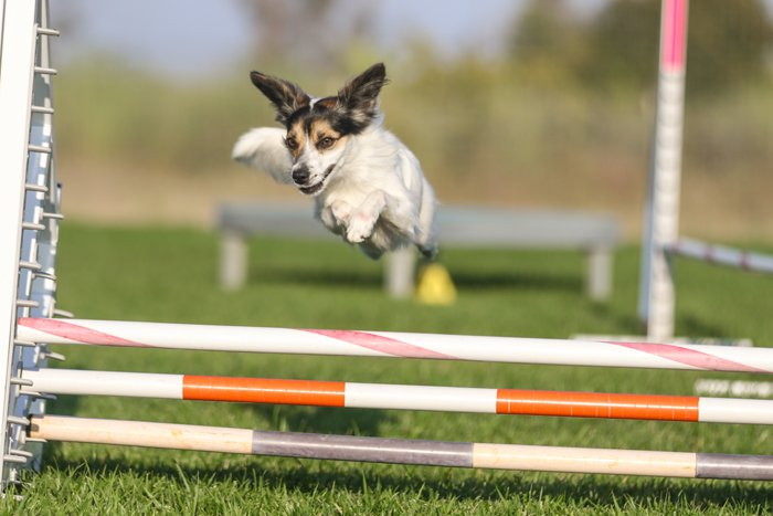 dog show photography Terrier jumping over obstacles