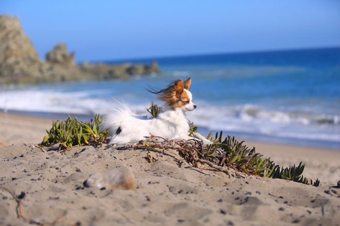 Pomeranian posing on the beach, staring out at the ocean with wind blowing in its fur for a pet photography session