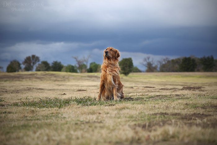 golden retriever photographed from far away in a field, looking majestic
