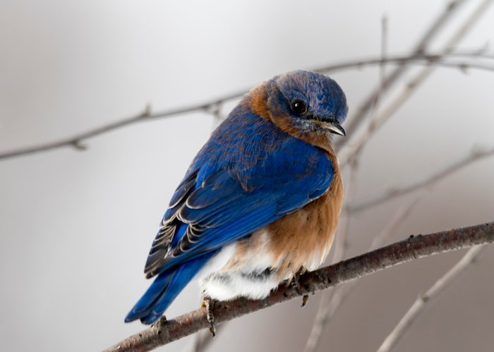 Wildlife photography of a blue bird on a branch