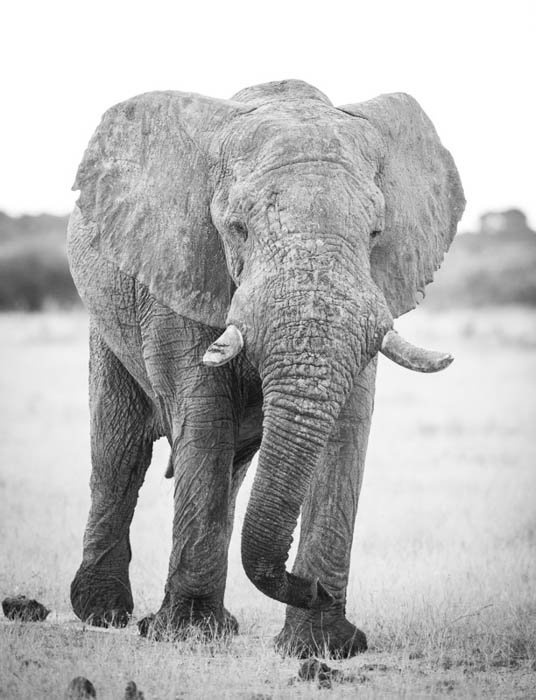Black and white high key wildlife portrait of an elephant walking towards the camera. High and low key photography
