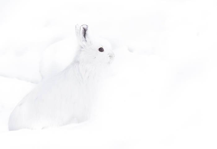 High key photography shot of a white Snowhoe Hare against a bright white snowy background. High and low key photography