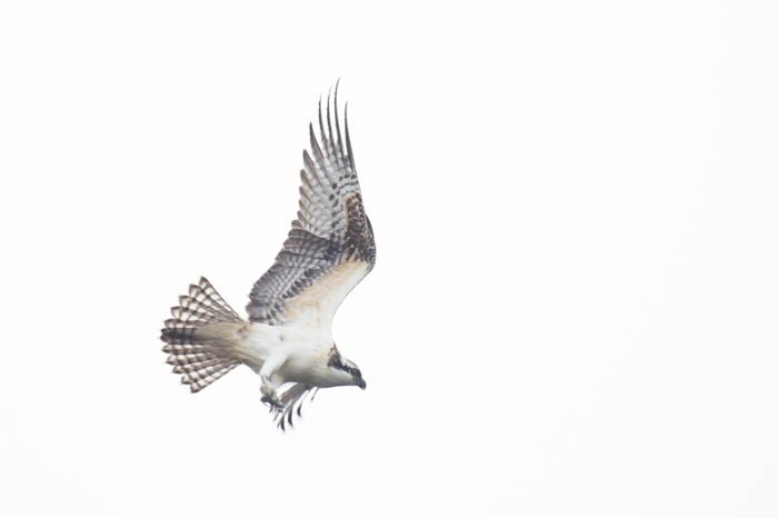 High key image of a bird of prey in flight with over exposed bright white background. High and low key photography