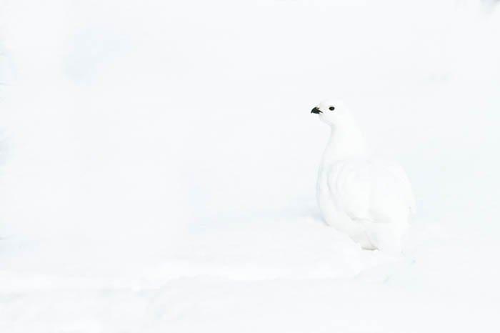 High key photo of a white willow ptarmigan on snow