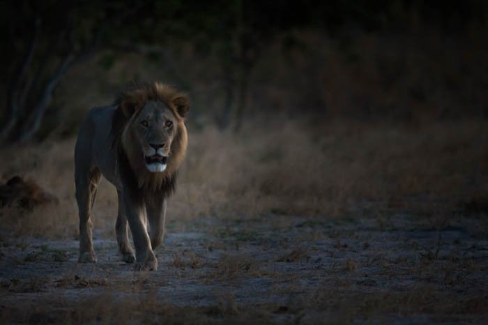 Moody low key photography of a male lion walking through the landscape towards the camera