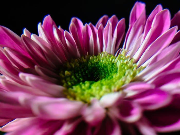 smartphone macro photo of a bright pink chrysanthemum