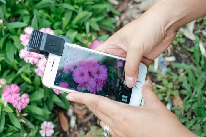person taking photo of pink flowers with iphone