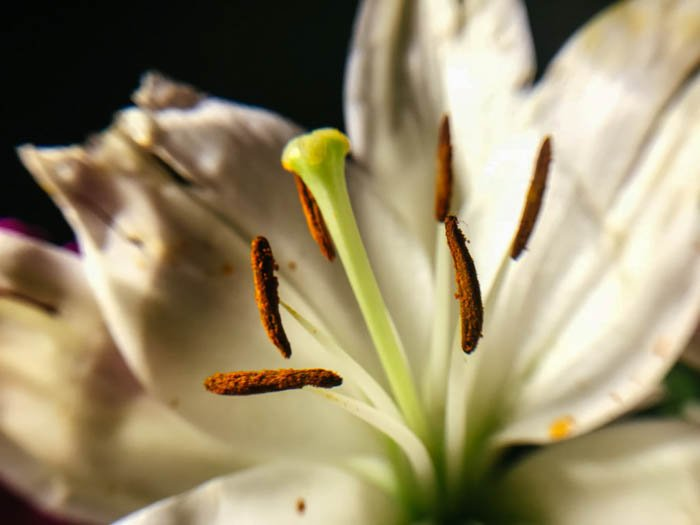 macro phone photography of a white lily