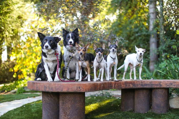 Pet photography business example, portrait of 6 dogs standing on a bench with a forest in the background