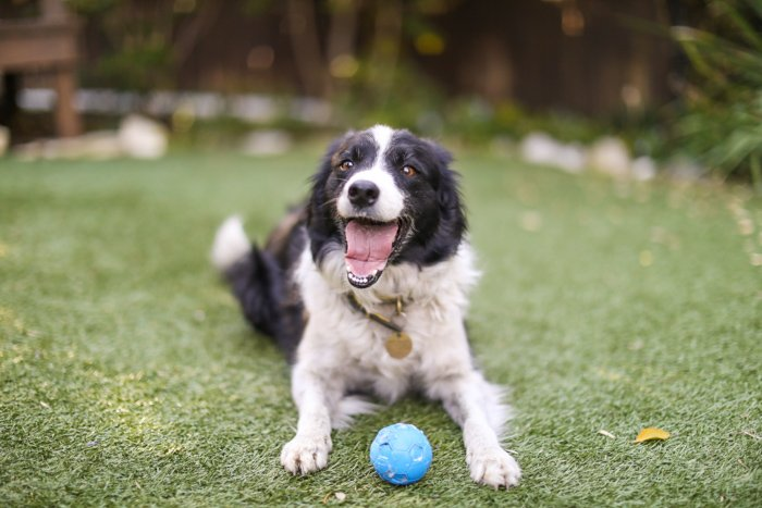 Playful pet portrait of a Border Collie dog lying on the grass with blue ball