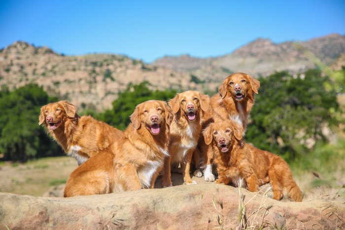 bright pet portrait of 5 brown dogs looking towards the camera in a rocky mountainous background