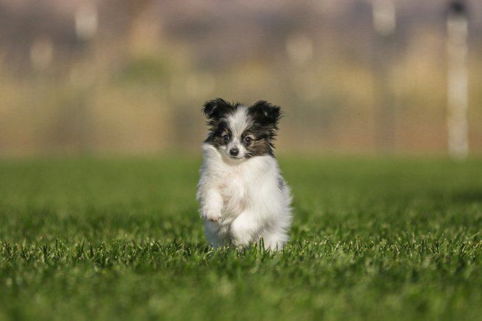 playful pet photography business example showing of a little black and white dog running through the grass towards the camera with blurry natural background