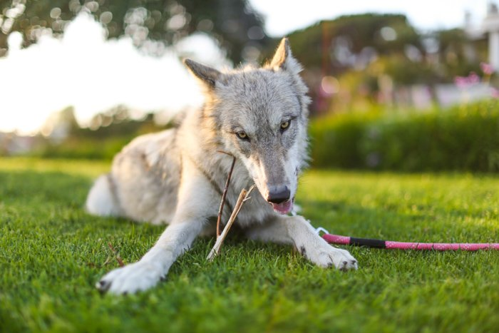 playful pet photography business shot of a grey dog lying on the grass and facing the camera