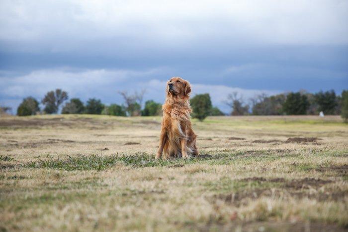 pet portrait of a Golden retriever in a grassy landscape