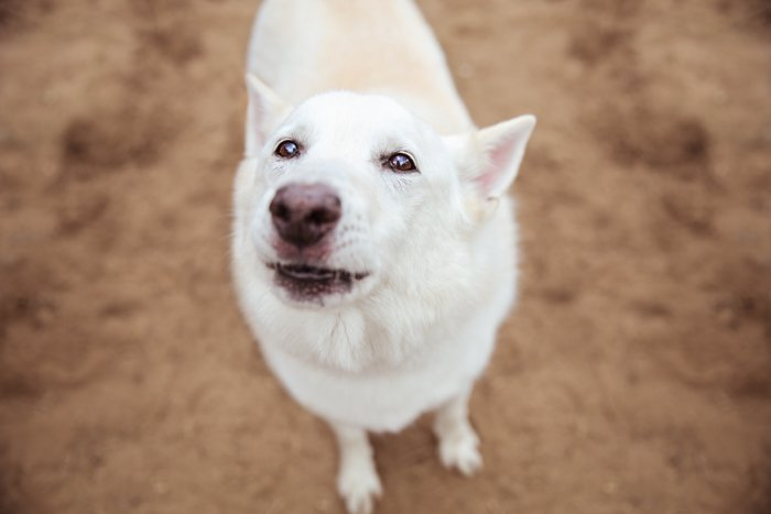 overhead portrait of a white dog looking up
