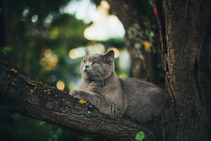 grey cat up lounging on a tree branch