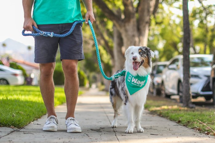 photo of Australian shepherd and owner, highlighting the leash and scarf dog is wearing