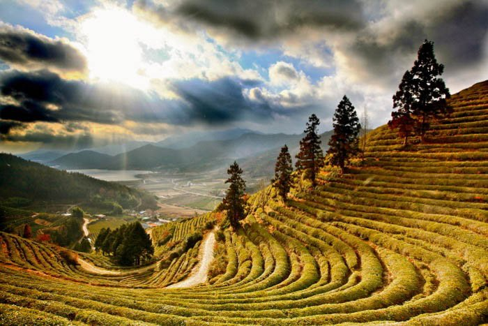 Tea fields in asia - travel photography