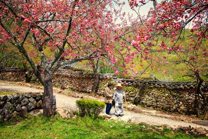 An old couple behind cherry blossom trees - travel photography