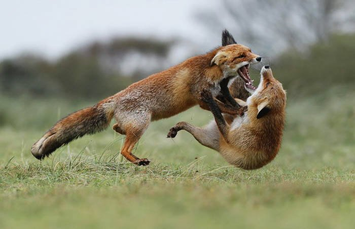 two foxes playing