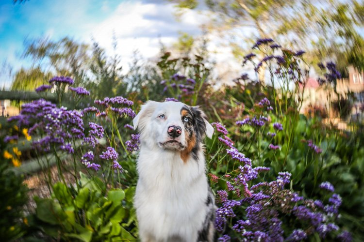 A white dog sitting between purple flowers that are blurry