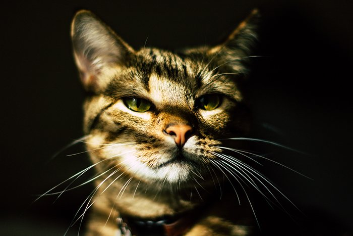 close up pet portrait of a stripy brown cat with collar against dark shadowy background