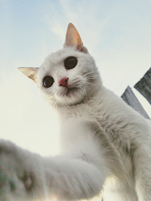 using a smartphone for pet portraits - close up of a white cat looking down and touching the screen with paw