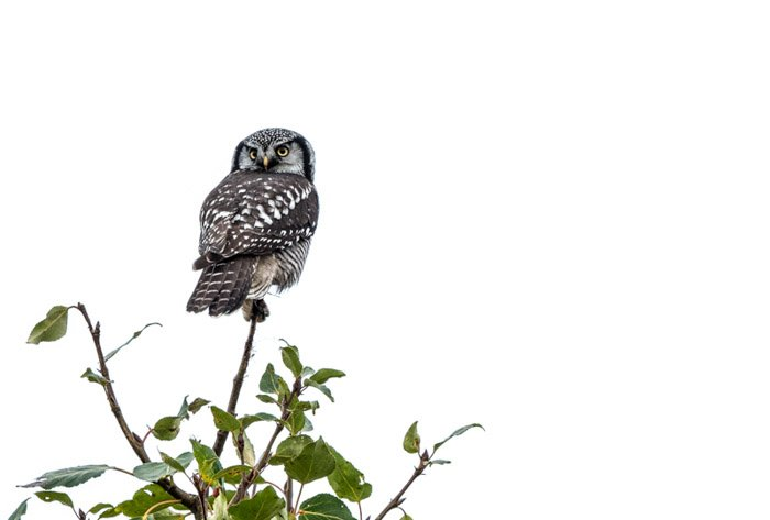 High key photography of an owl on a tree top