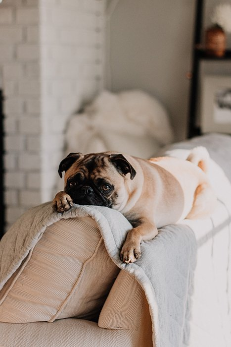 a cute pug dog resting on a couch