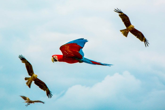 A parrot flying between eagles