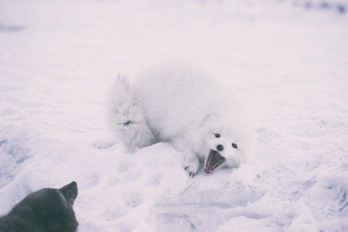 playful artic fox