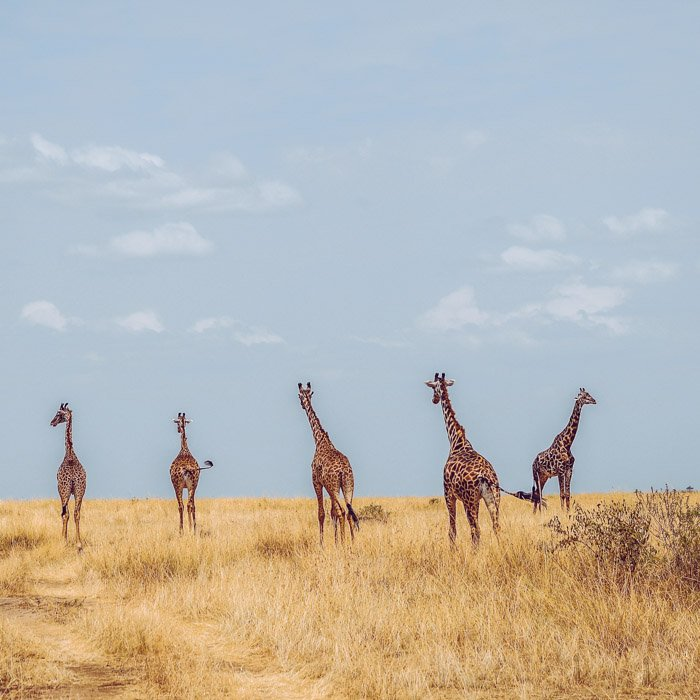 five walking giraffes