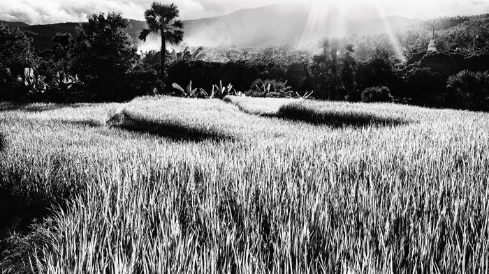 Dramatic texture of rice fields in the evening in northern Thailand, Black and white photography