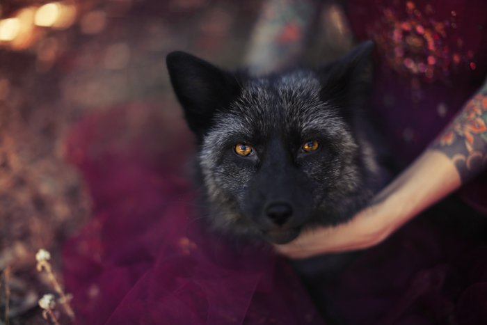 Gothic portrait of a wolf life dog looking at the camera, a girl in purple lace holds his neck with tattooed arms. Improve your photography skills today.