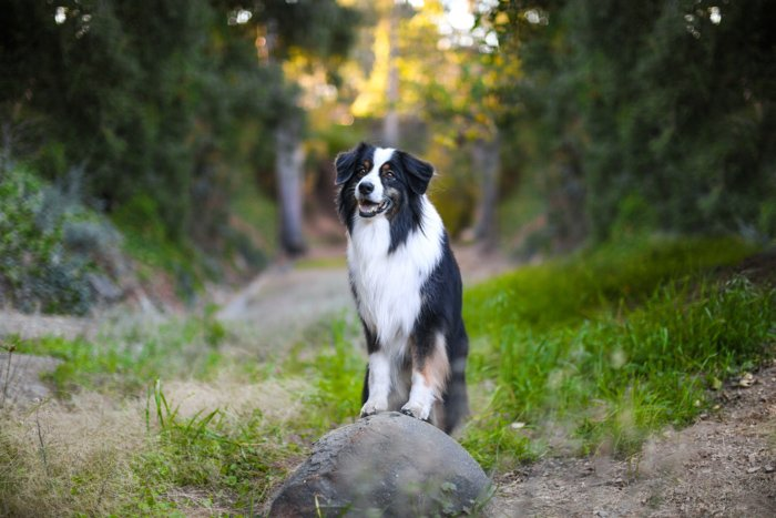 Portrait of a border collie dog standing on a rock, looking towards the camera, in a countryside area. Improve your photography skills today.