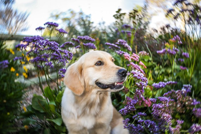 Portrait of a Labrador dog with a blurred background of purple flowers and foliage. with Improve your photography skills today.