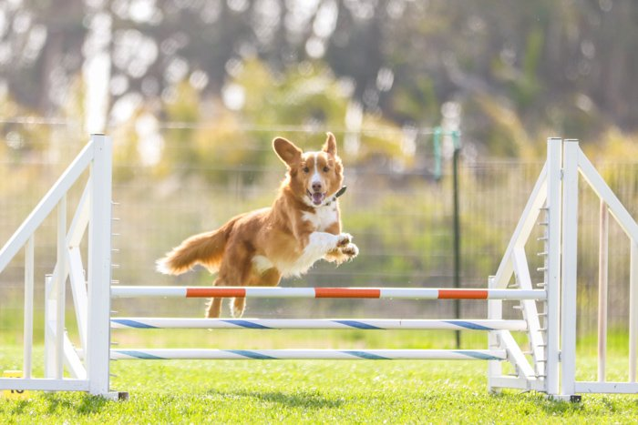 Bright and airy photo of a small brown dog, jumping over an agility jump. Improve your photography skills today