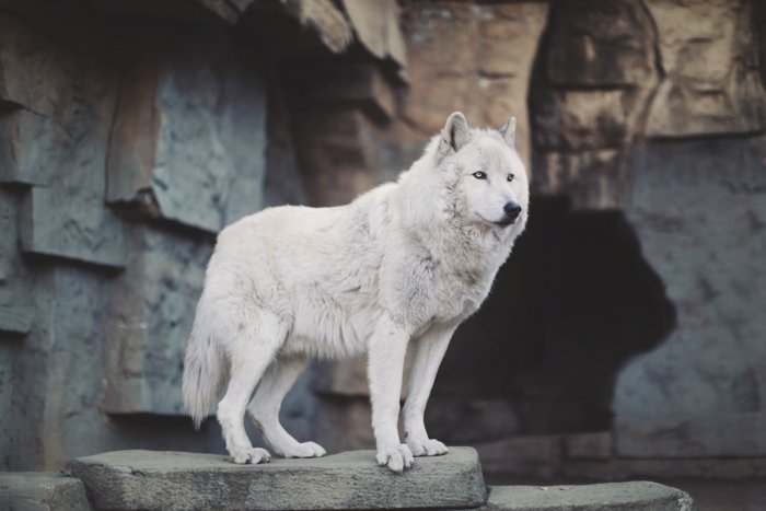 Portrait of an Alaskan tundra wolf, standing proudly on rocks. Improve your photography skills today.