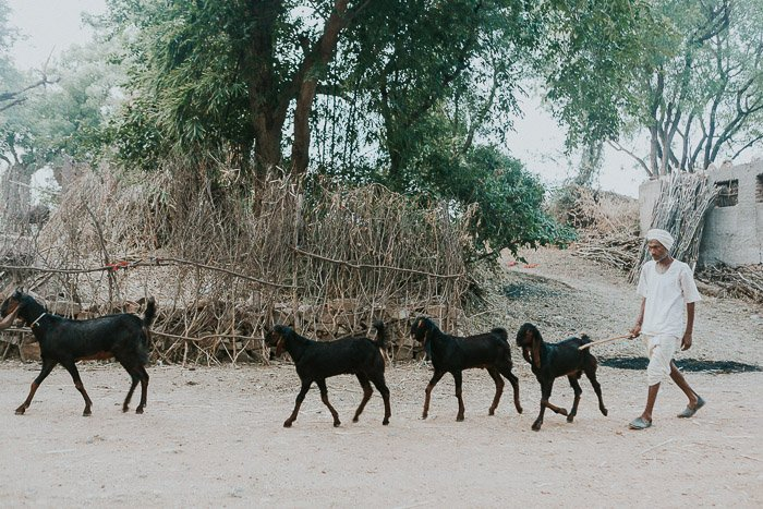 Travel photography of a herd of black goats walking down a road in India.