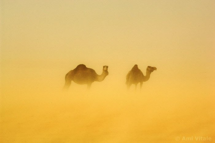 Atmospheric ghostly image of 2 camels by Ami Vitale.