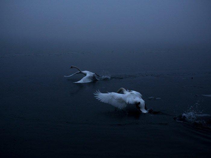 Atmospheric photo of 2 swans landing on water by Michaela Skovranova.