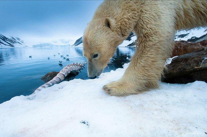 Florian Schulz wildlife photography of a polar bear on ice.